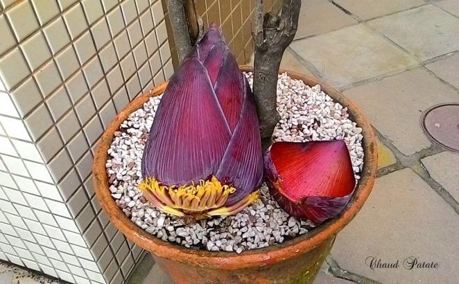 baba-figue fleur de bananier chaud patate violet